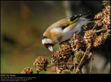 Goldfinch (Stillits / Carduelis carduelis)