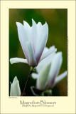 Magnolium Blossom