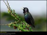 Starling (Stær / Sturnus vulgaris) (updated:2008-10-22)