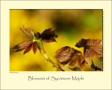 Blossom of Sycamore Maple