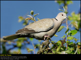 Collared dove (Tyrkerdue / Streptopelia decaocto)
