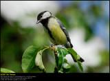 Great Tit (Musvit / Parus major)