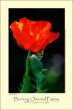 Burning Oriental Poppy