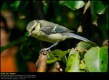 Blue tit (Blåmejse / Cyanistes caeruleus)