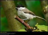 Marsh tit (Sumpmejse / Poecile palustris)