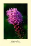 Gayfeather (Pragtskær / Liatris spicata)
