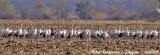 Common Cranes flock