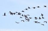 Common Cranes flock in flight