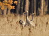 Common Cranes-adult and young