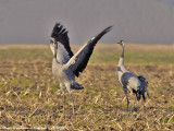 Common Cranes winter in France
