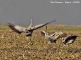 Common Crane dance