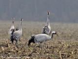 Common Cranes back