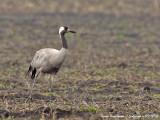 Common Crane walking