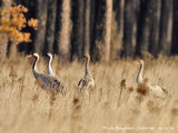 Common Cranes family group