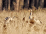 Common Cranes juvenile