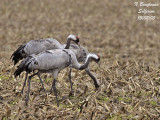 Common Cranes gleaning