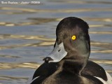 TUFTED DUCK M