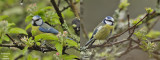 Blue Tits in Apple-tree