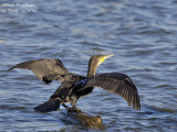 GREAT CORMORANT drying its wings