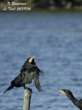 GREAT CORMORANT displays