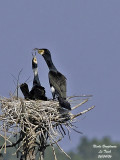 GREAT CORMORANT courtship feeding