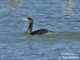 GREAT CORMORANT bathing