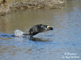 GREAT CORMORANT takes off