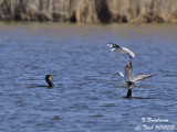 GREAT CORMORANTS and Black-headed Gulls fishing