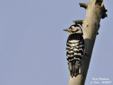 LESSER SPOTTED WOODPECKER - DENDROCOPOS MINOR - PIC EPEICHETTE
