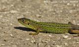 GREEN LIZARD female - Lacerta viridis - Lézard vert