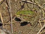 GREEN FROG - Rana Esculenta - Grenouille verte