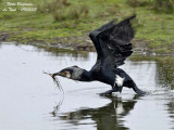 GREAT CORMORANT   - take off