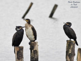 GREAT CORMORANTS adults and young