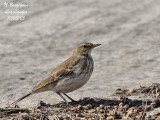 WATER PIPIT - ANTHUS SPINOLETTA - PIPIT SPIONCELLE
