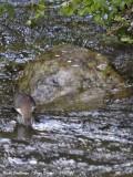 White-throated Dipper - Cinclus cinclus - Cincle Plongeur
