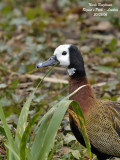 WHITE-FACED WHISTLING DUCK - DENDROCYGNA VIDUATA - DENDROCYGNE VEUF