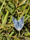 ADONIS BLUE - POLYOMMATUS BELLARGUS - ARGUS BLEU CELESTE