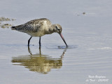 BAR-TAILED GODWIT - LIMOSA LAPPONICA - BARGE ROUSSE
