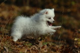 Miniature American Eskimo