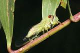 C. oldfieldi ovipositing