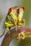 Cicadetta oldfieldi portrait