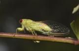 Cicadetta oldfieldi - the wattle cicada