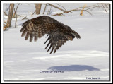 chouette 186.jpg  -  CHOUETTE LAPONE - GREAT GRAY OWL