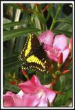 papillons 016.jpg   -   PAPILIO