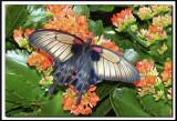 papillons 005 -  PAPILIO