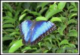 papillons 007.jpg  -  MORPHO PELEIDES  /  Costa Rica