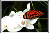 papillons 011  -    DRYADULA PHAETUSA  /  Costa Rica
