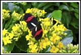papillons 013.jpg  -  HELICONIUS ERATO  /  Amérique du Sud - South America