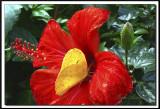papillons 020.jpg  -  PHOEBIS PHILEA  /  Costa Rica
