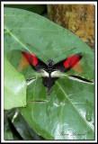 papillons 043.jpg  -  HELICONIUS ERATO  /  Amérique du Sud - South America